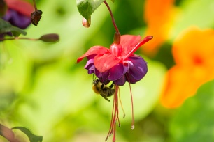 A bee enjoys a fuschia in Kyle St