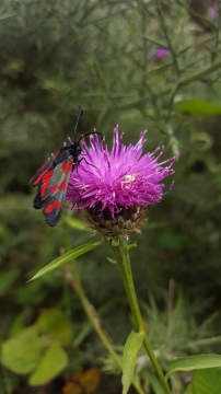 Burnet moth with crab spider on knapweed