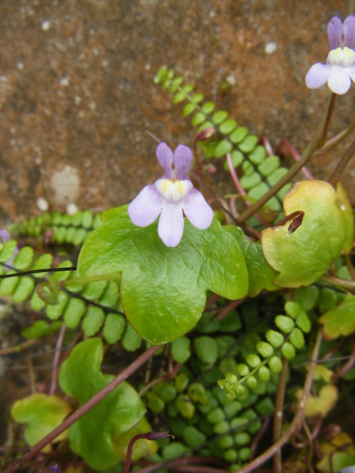 Ivy leaved Toadflax Cymbalaria muralis 3